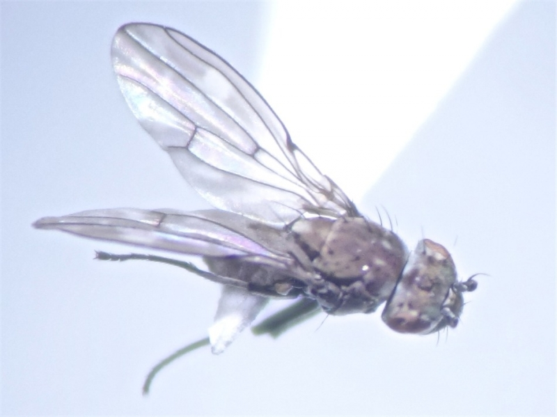 Scatophila despecta