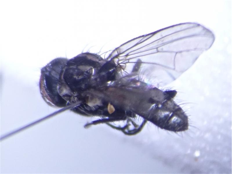 Calythea nigricans