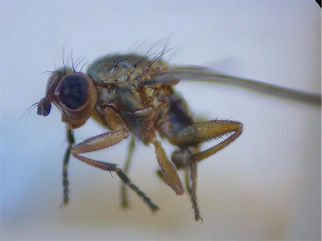 Ditaeniella grisescens(m)