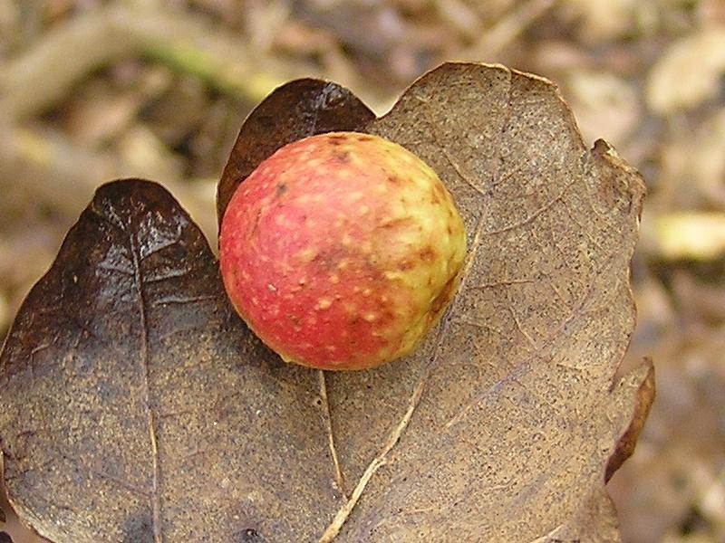 Cynips quercusfolii (Linnaeus, 1758) ff