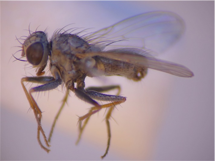 Lispocephala erythrocera(m)