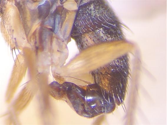 Hercostomus plagiatus