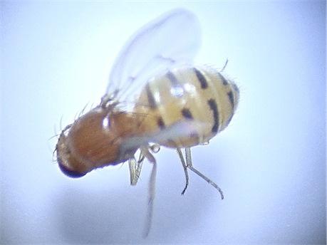 Drosophila kuntzei
