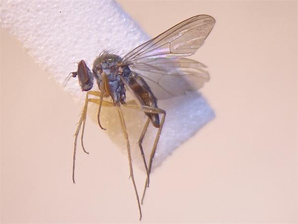 Argyra leucocephala