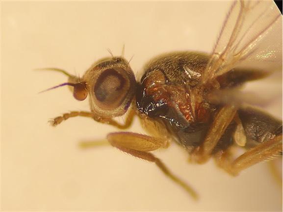 Elachiptera megaspis(f)