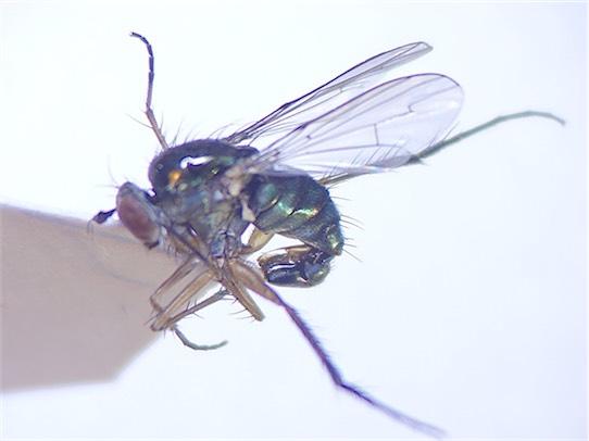 Dolichopus diadema