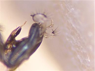 Dolichopus excisus