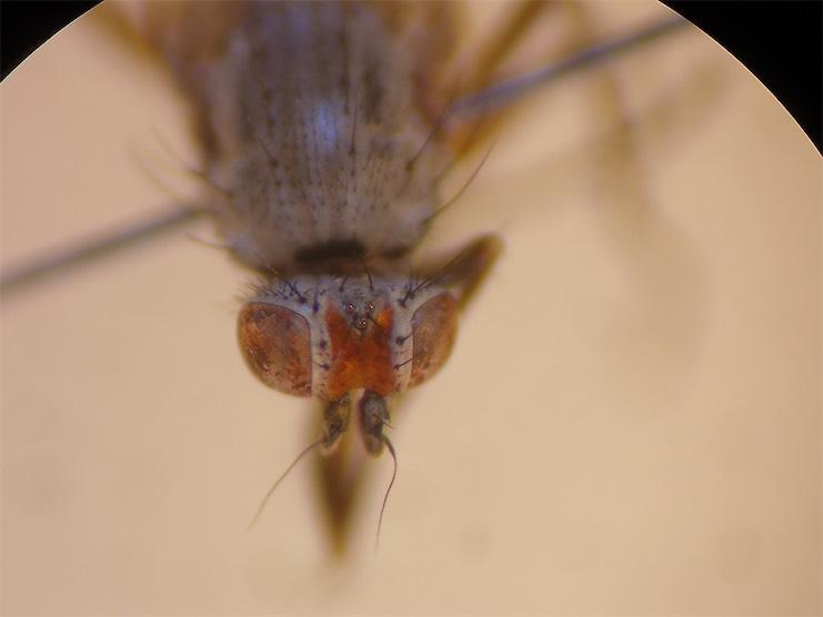 Heteromyza rotundicornis