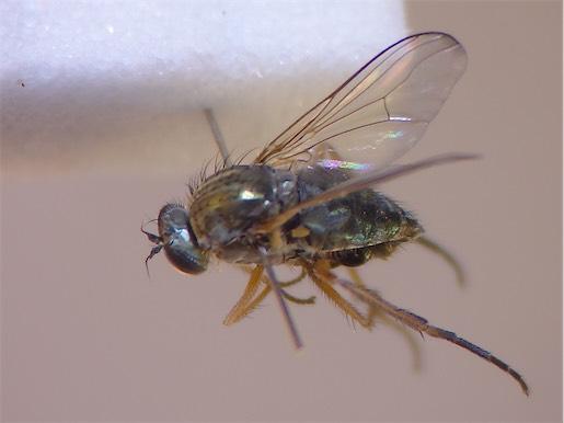 Muscidideicus praetextatus