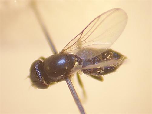 Cryptonevra flavitarsis
