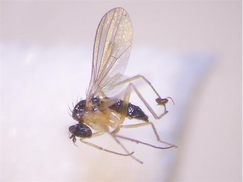 Anepsiomyia flaviventris