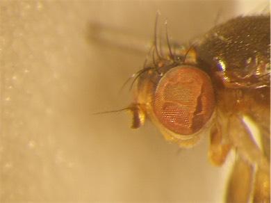 Pteromicra leucopeza