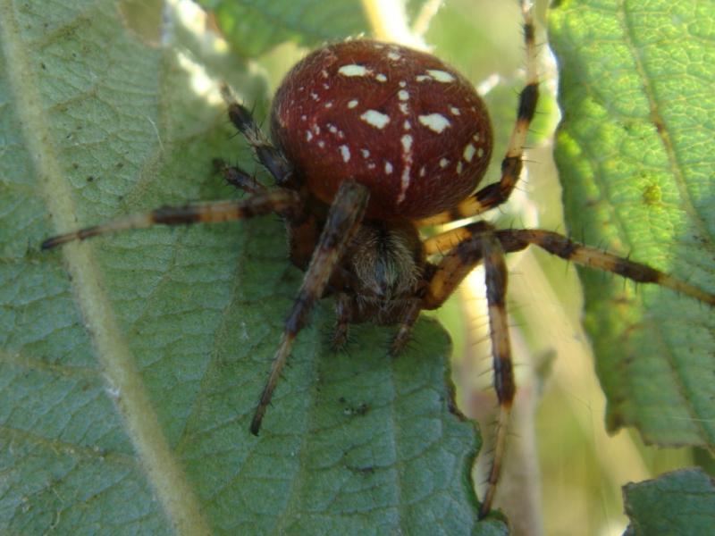 Araneus quadratus Viervlekwielwebspin