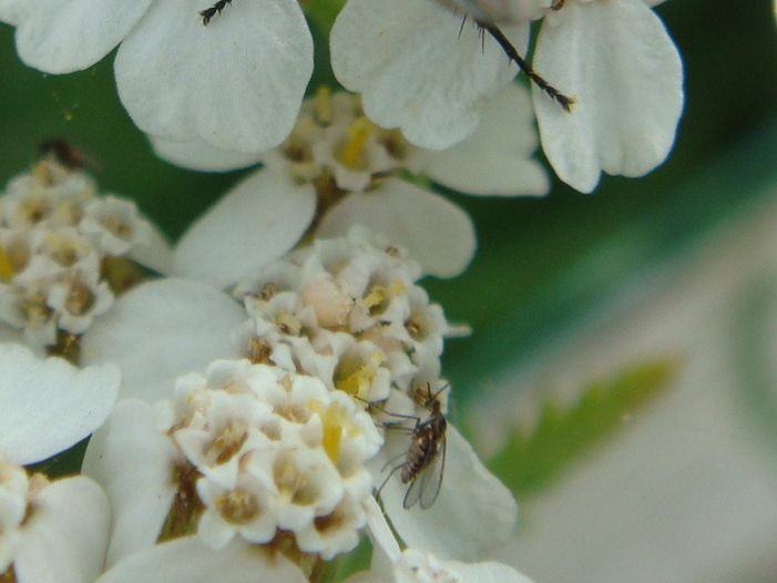 Cecidomyiidae indet. Galmug onbekend