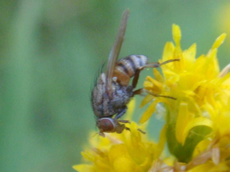 Minettia sp.fasciata groep