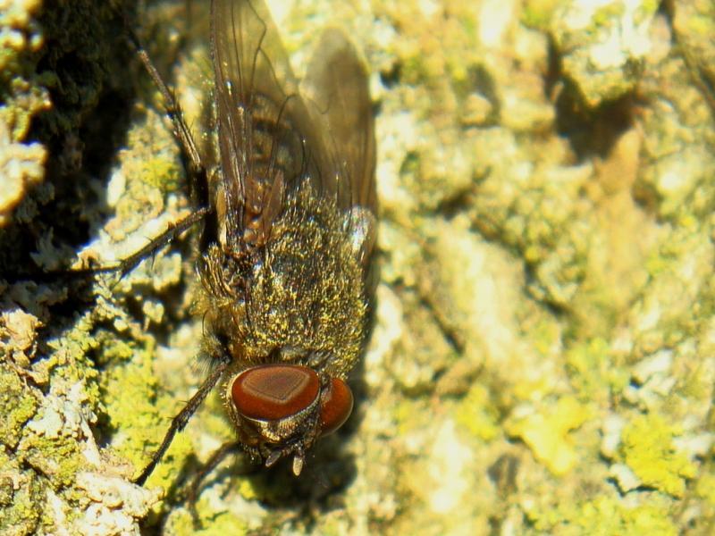 Pollenia sp. Soort Brom/Vleesvlieg