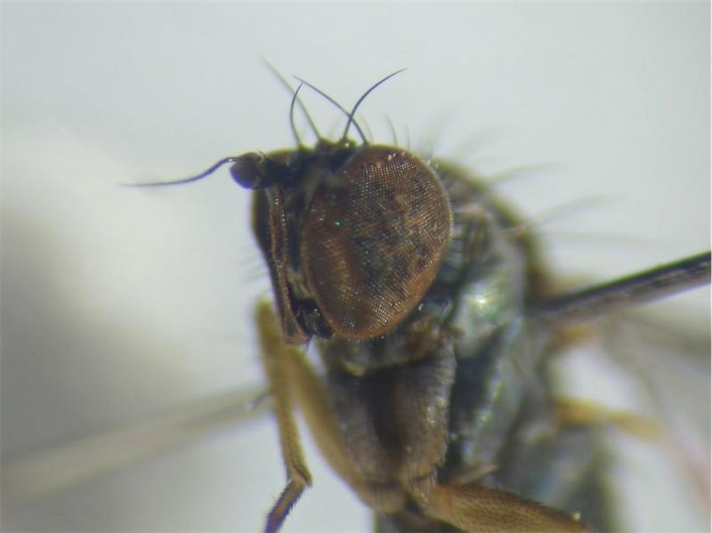 Gymnopternus blankaartensis