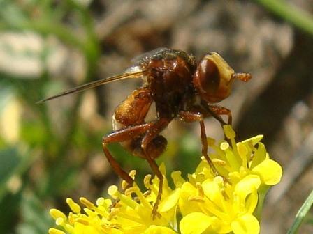Sicus ferrugineus