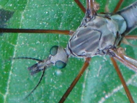 Tipula luna(m)