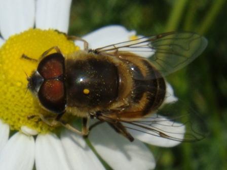 Eristalis similis Onvoorspelbare Bijvlieg(m)