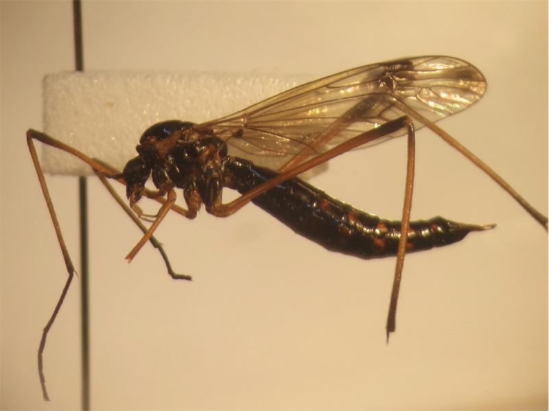 Dictenia bimaculata(m)