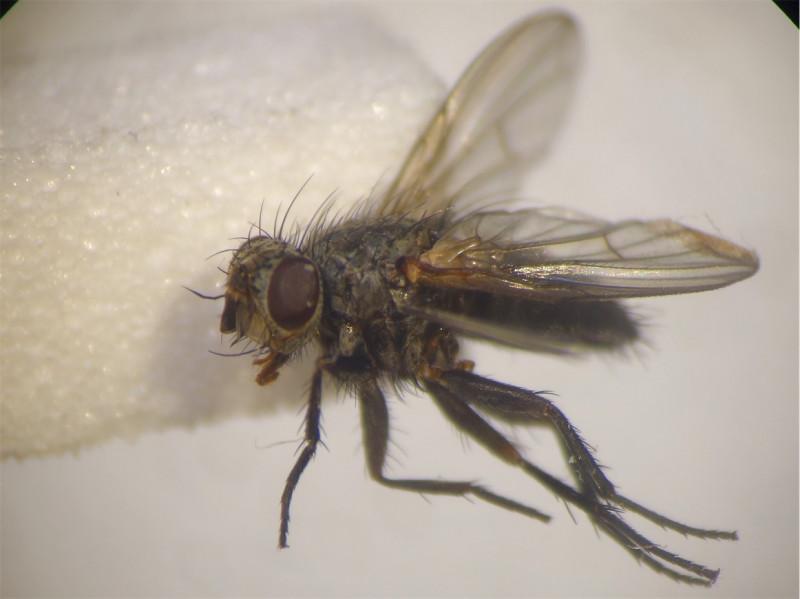 Thriarthria setipennis