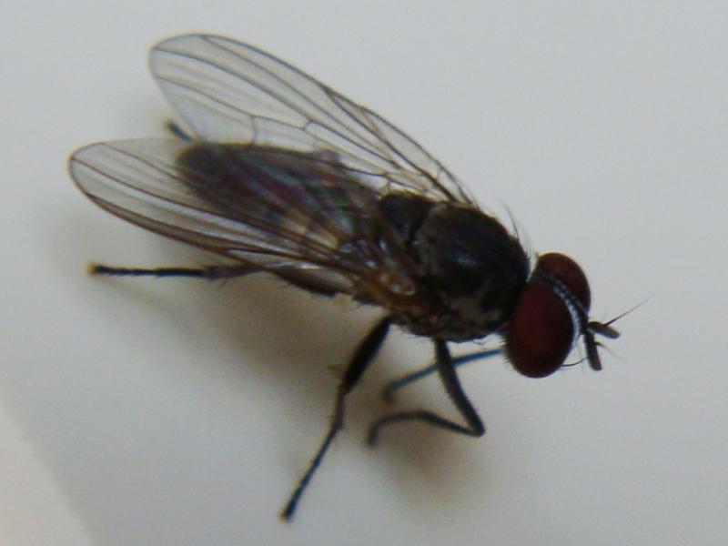 Fannia canicularis
