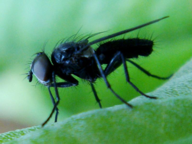Melanomya nana(m)