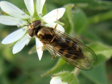 Platycheirus peltatus Scheefvlek-platvoetje