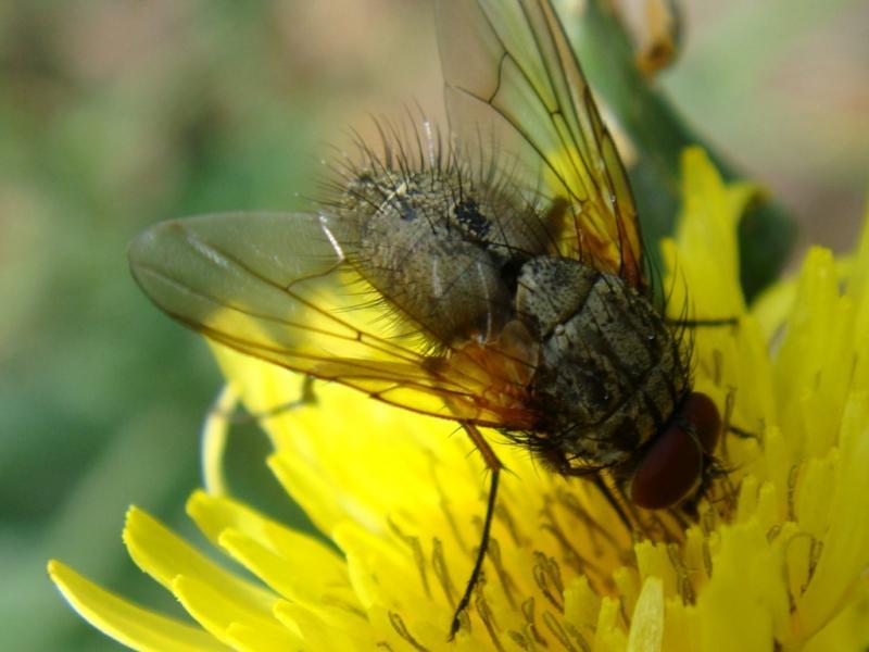 Phaonia angelicae/falleni(f)