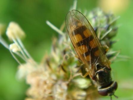 Platycheirus clypeatus Gewoon Platvoetje(f)