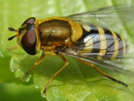 Syrphus ribesii Bessenbandzweefvlieg