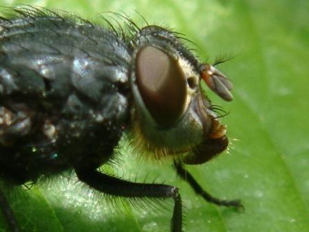 Calliphora vomitoria Roodkaakbromvlieg