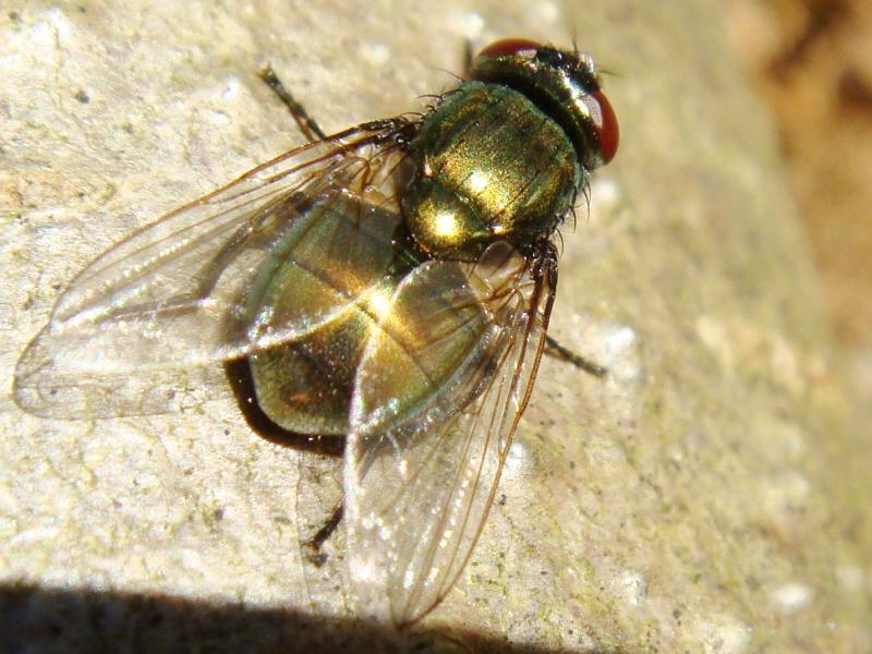 Neomyia cornicina(f)old