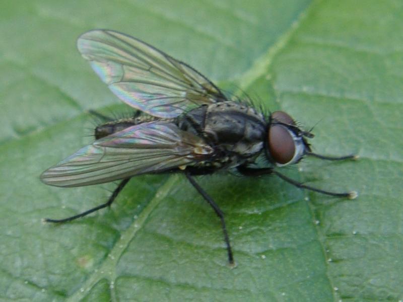 Delia cf.radicum(m)