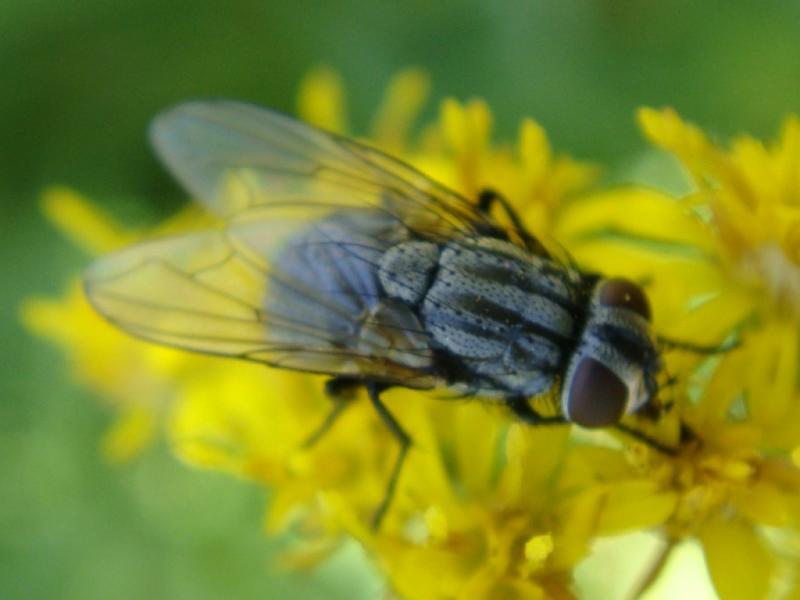Musca autumnalis Herfstvlieg(f)