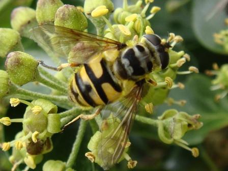 Myathropa florea Doodskopzweefvlieg