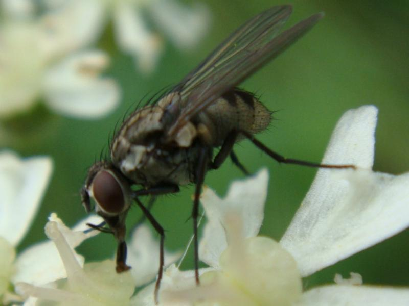 Limnophora sp.(f)