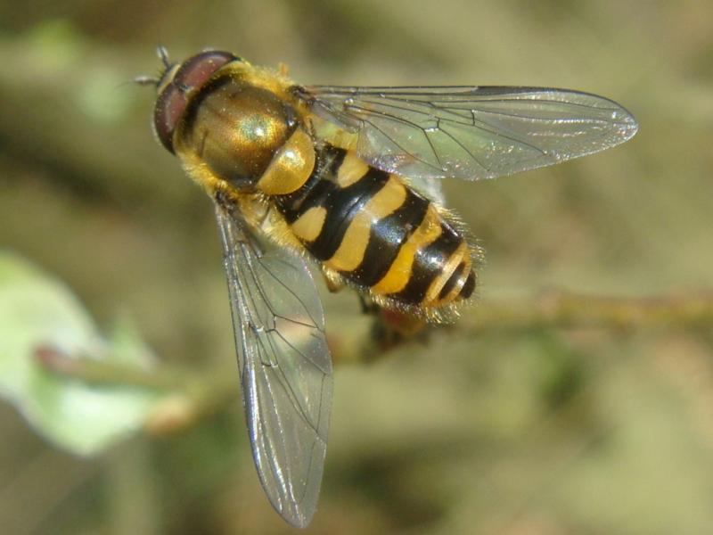 Syrphus ribesii Bessenbandzweefvlieg(m)
