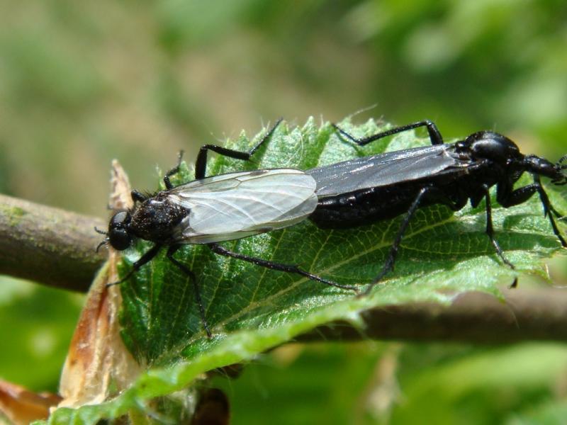 Bibio leucopterus copula