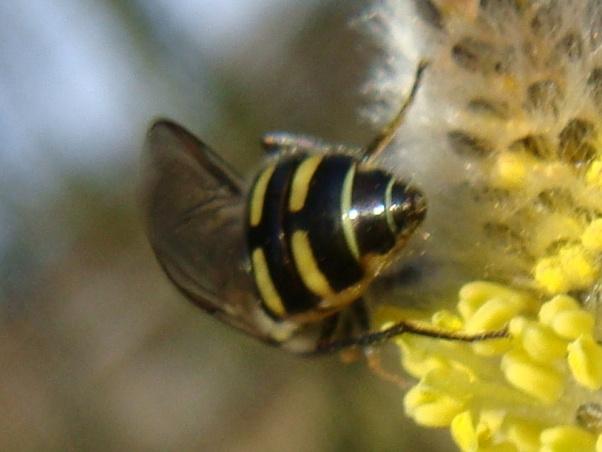Melangyna lasiophthalma Wilgenelfje(f)