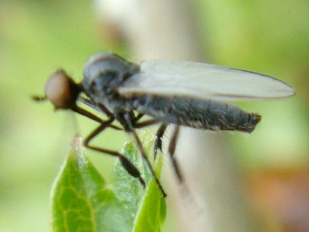 Empis chioptera