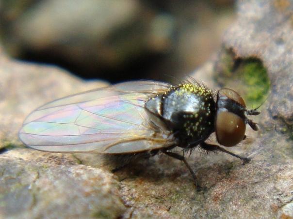 Lonchaeidae indet.