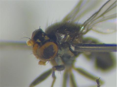 Hydrellia laticeps