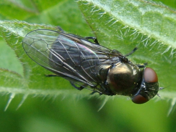 Melanogaster hirtella Weidedoflijfje(f)