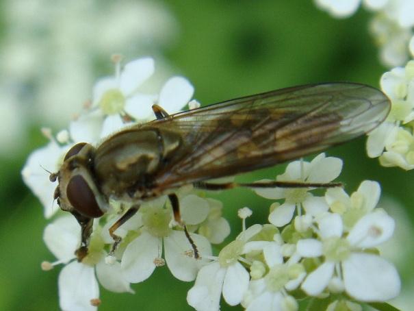 Platycheirus manicatus Snuitplatvoetje(f)