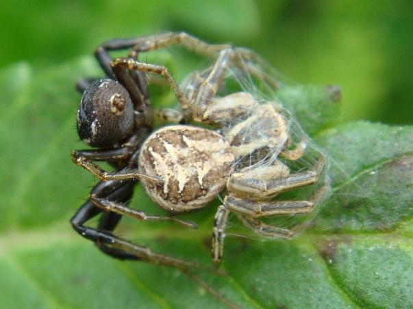 Xysticus spec. Parende Krabspinnen