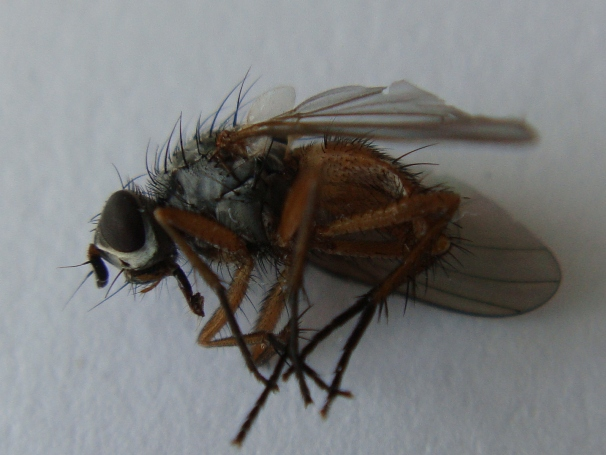 Pegomya bicolor(f)