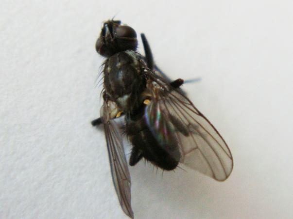 Limnophora tigrina(m)