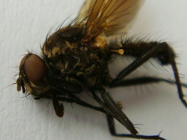 Delia criniventris(m)